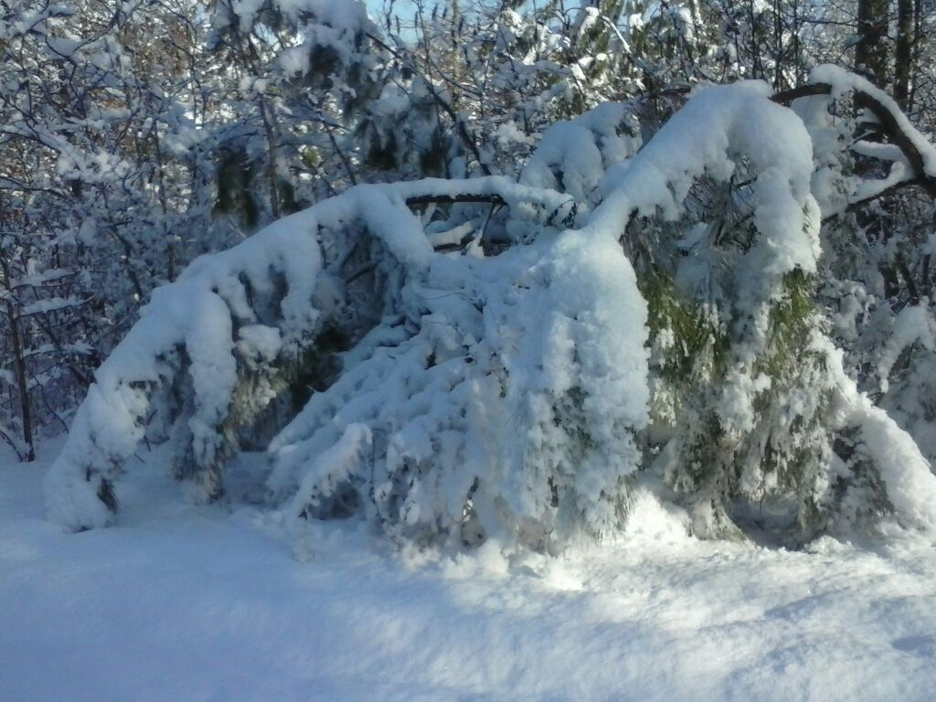 Trees Weighed Down With Snow