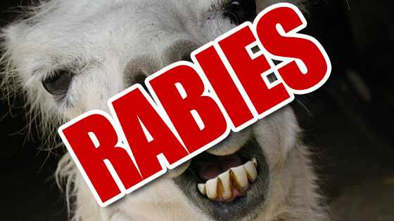 WRCB Rabid Llama Graphic