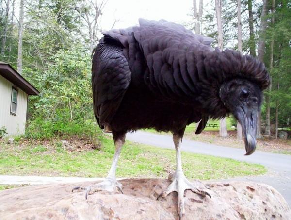 SOAR Vulture