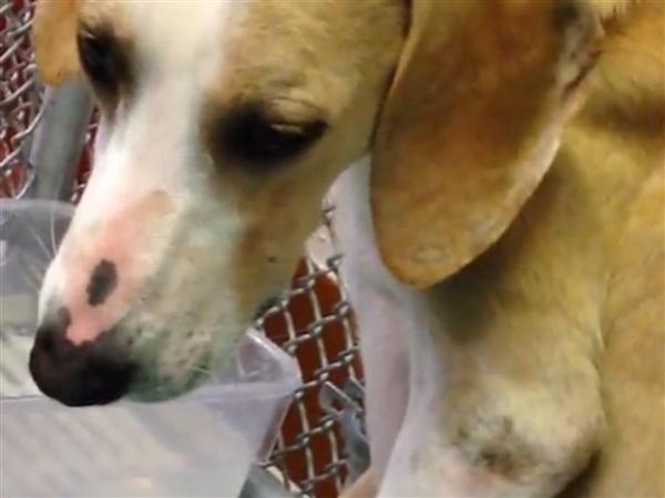 GA Regents University Dog Experiments