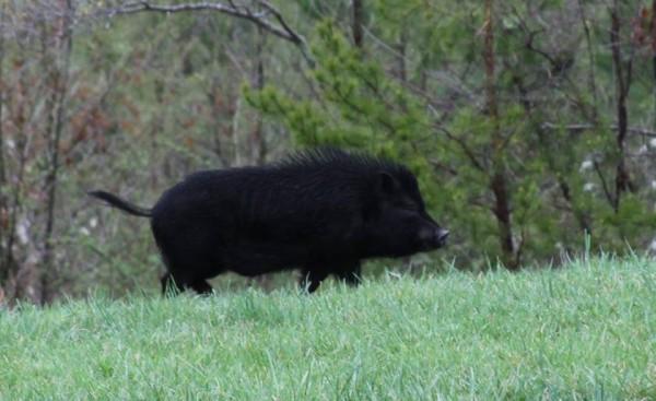 wild_pig