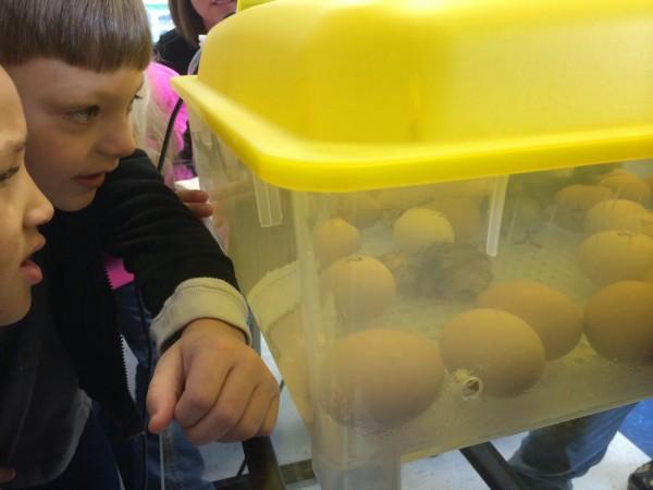 Gilbert Elementary Chicks Hatching
