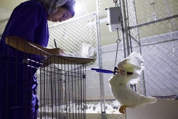 GA Tech Chicken Research / WSJ